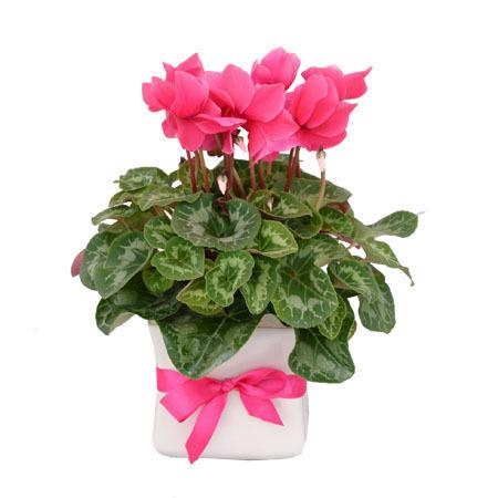 cyclamen-gift-plant